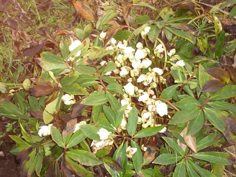 Roses de noel ou hellebores 945ccf10
