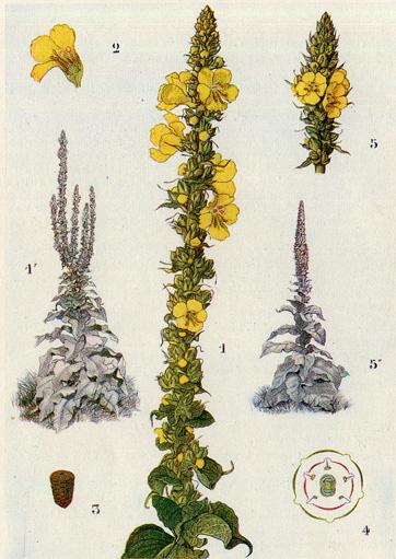 Bouillon Blanc, Verbascum thapsus Bouill10