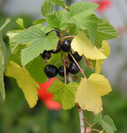 Cassis, Ribes nigrum Cassis10