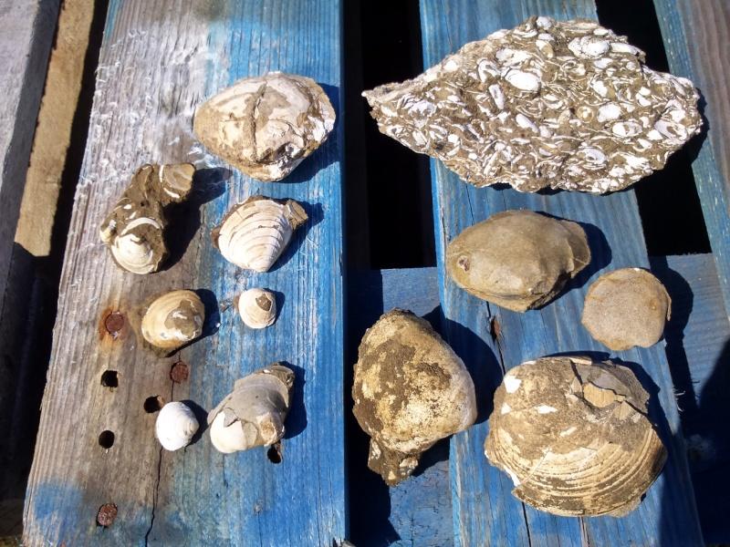 Fossiles islandais Dsc_0010