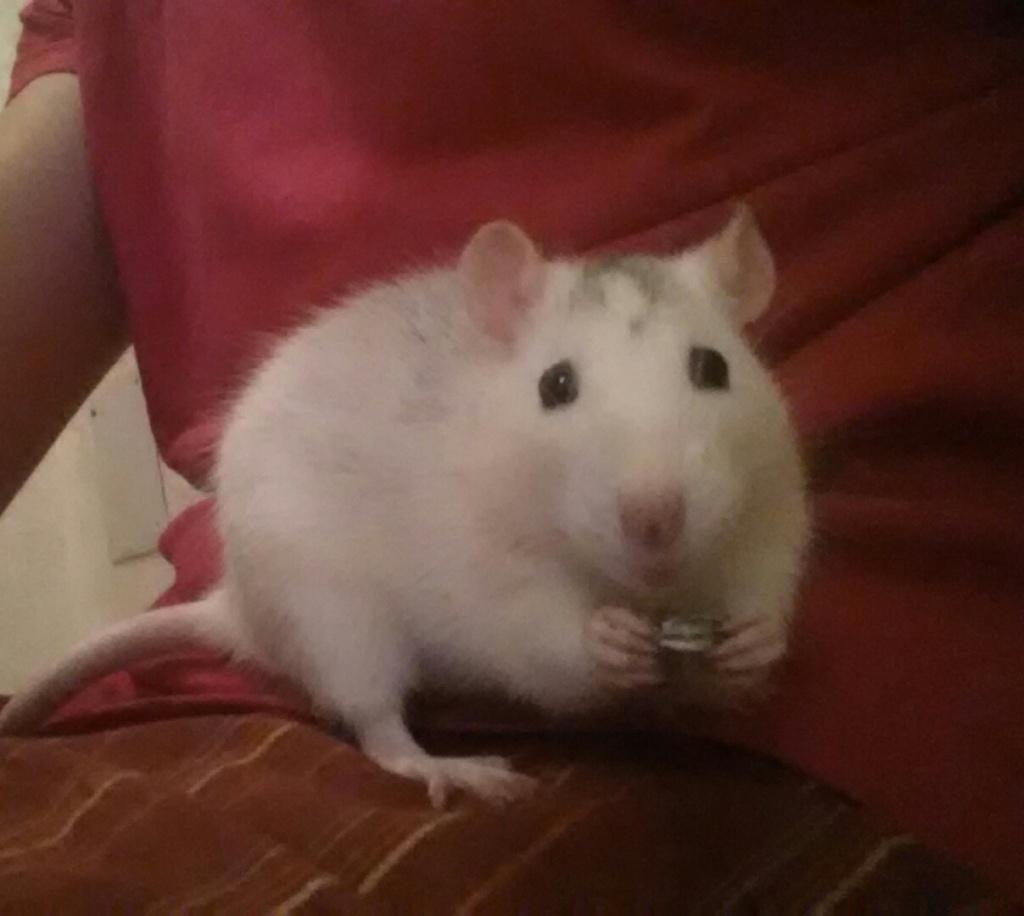 Ratte (Arya), 1 ans et demi cherche des copines 20140810