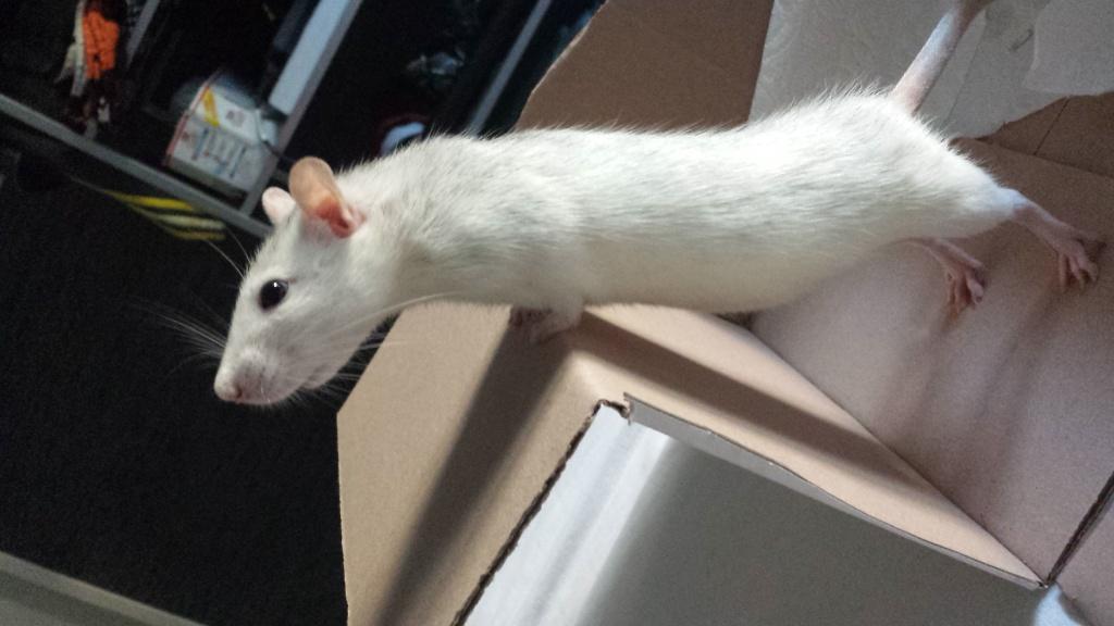 Ratte (Arya), 1 ans et demi cherche des copines 20140911