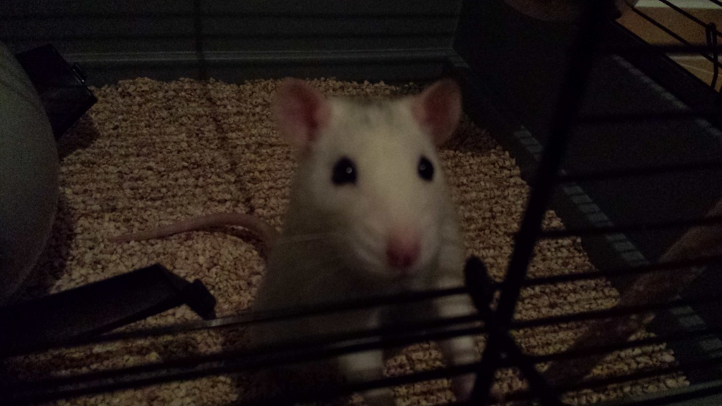 Ratte (Arya), 1 ans et demi cherche des copines 20150112