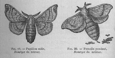 Bombyx du murier Veraso10