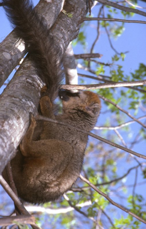"maki brun ""Eulemur fulvus "" Lemur_10"