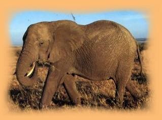 L'éléphant d'Afrique Elepha10