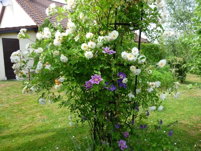 roses de mon jardin P1020510