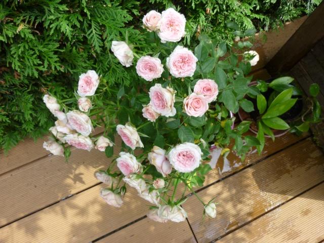 roses de mon jardin P1020511