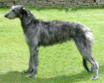 Levrier ecossais (Deerhound) Scotti10