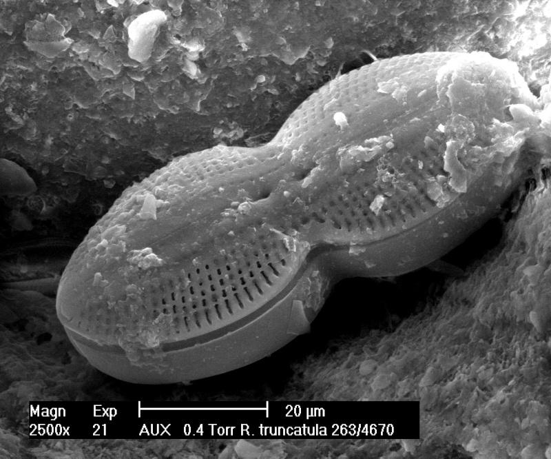 Diatomée de Roscoff 70-21_10