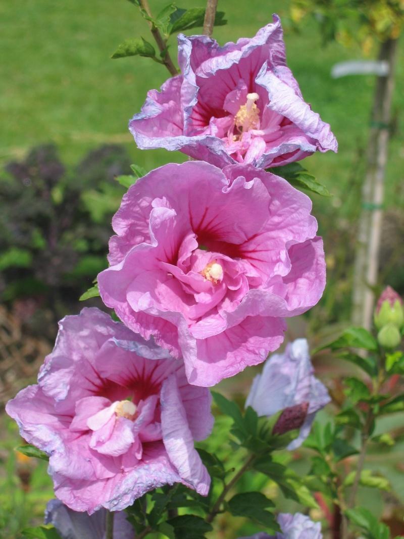 Hibiscus syriacus Lavender Chiffon Img_4810