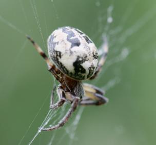 Araignée Araign10