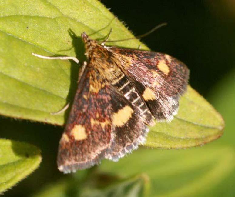 Papillons Pyraus10
