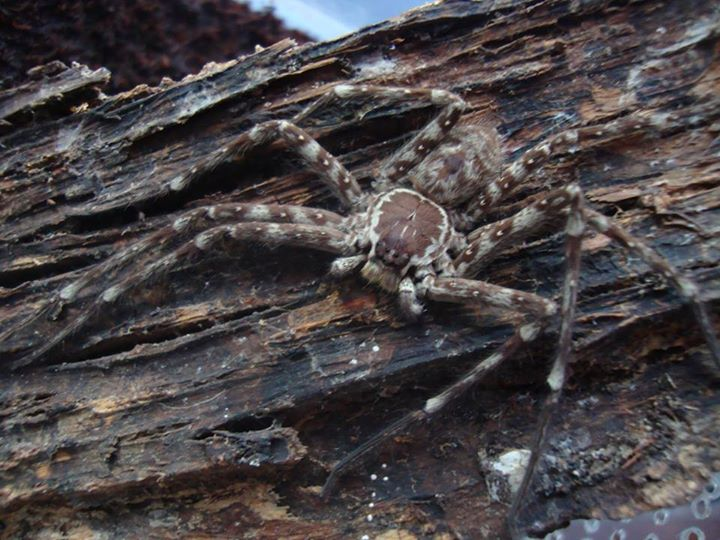 Sparassidae sp Indonésie 10850111