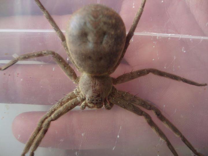 Sparassidae sp Indonésie 11063610