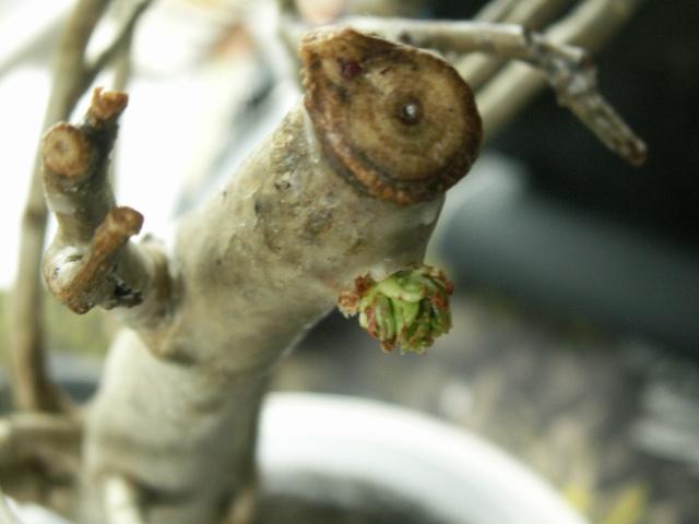 Le réveil de mon baobab Pict1210
