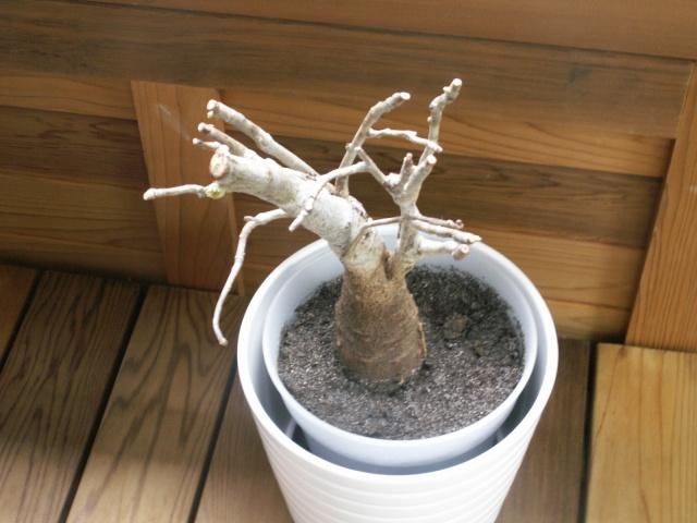 Le réveil de mon baobab Pict1311