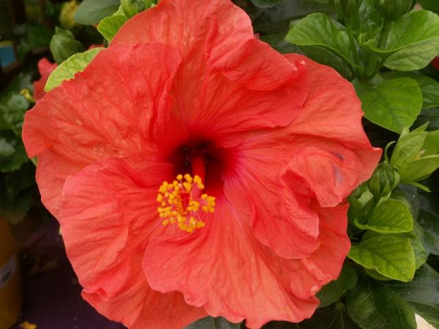 Des Hibiscus encore et encore Pict1318