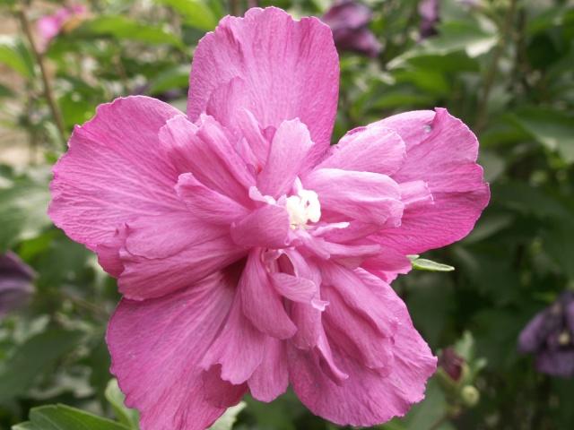 Des Hibiscus encore et encore Pict1322