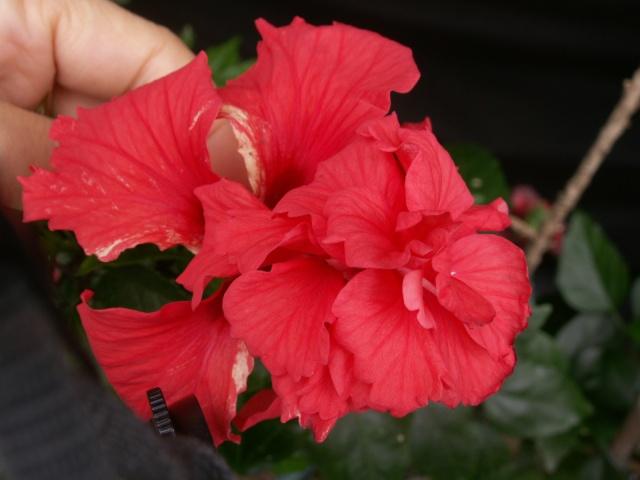 Des Hibiscus encore et encore Pict1324