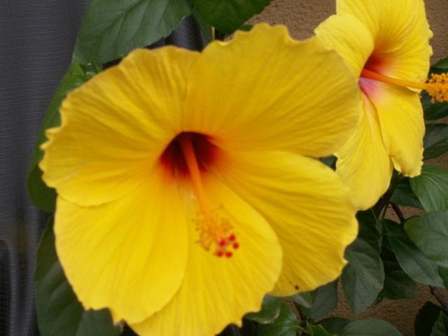 Des Hibiscus encore et encore Pict1325