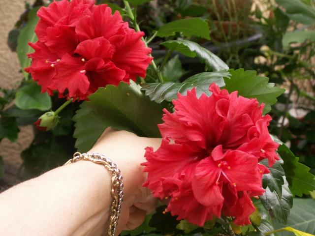 Des Hibiscus encore et encore Pict1326
