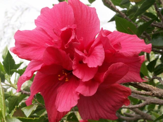 Des Hibiscus encore et encore Pict1327