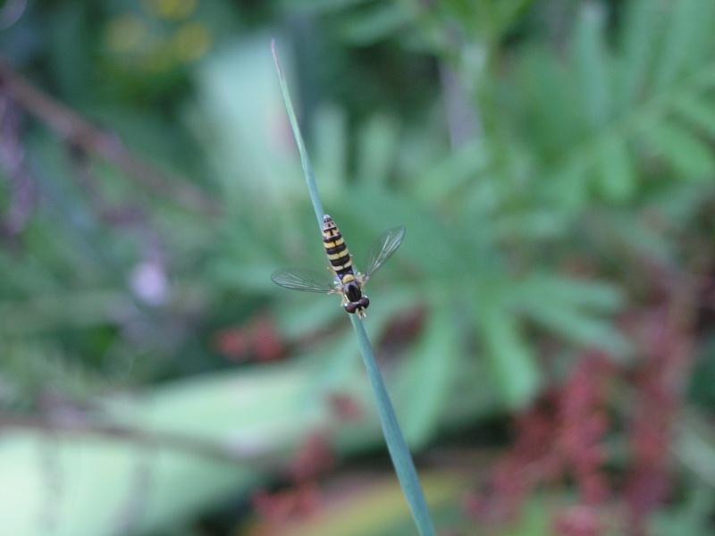 1 auxiliaire contre les pucerons Insect13