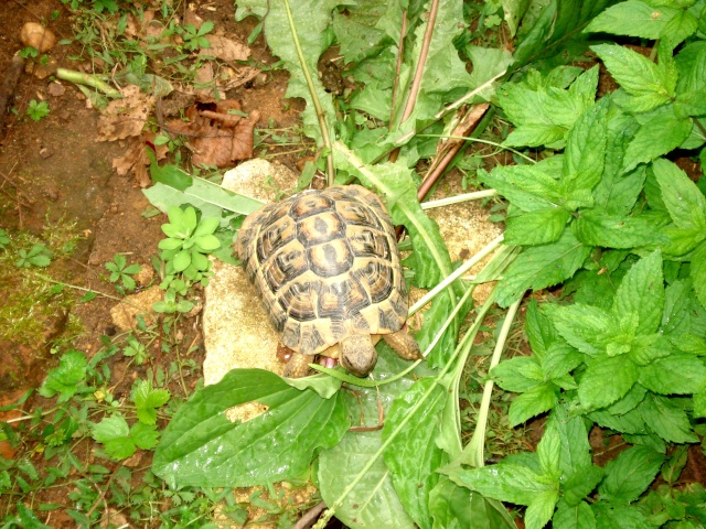 Giroflée de la Nièvre 511_3010