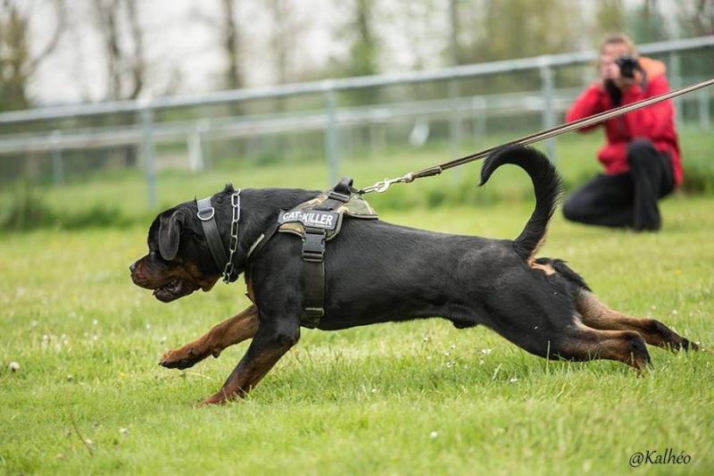 Rottweiler mâle 15 mois (44) 11111010