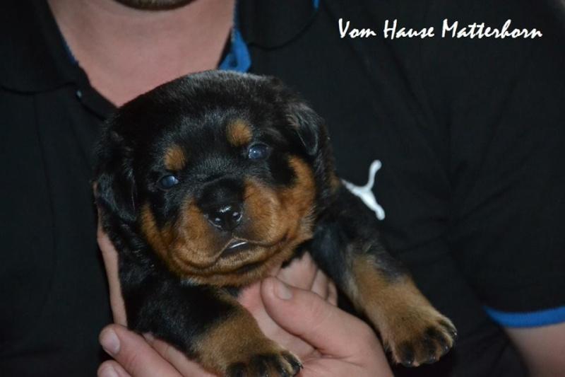 Rottweiler - Ida x Lacky 11692510