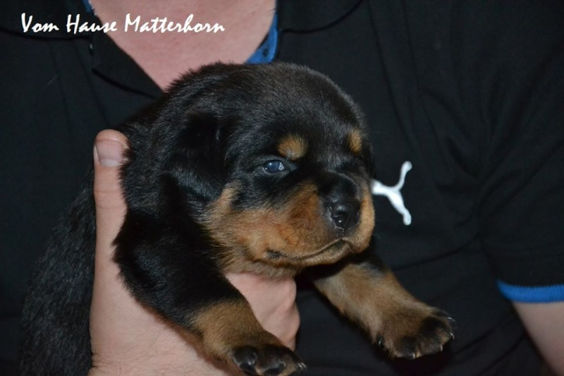 Rottweiler - Ida x Lacky 11701010