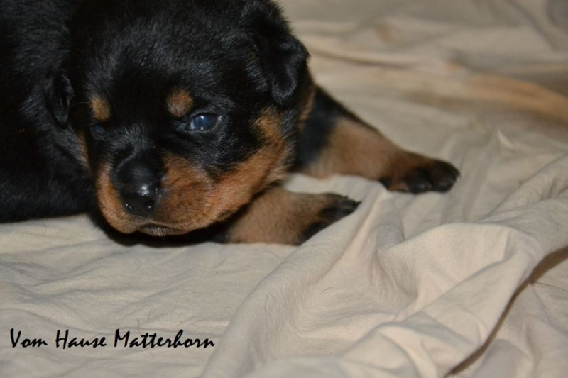 Rottweiler - Ida x Lacky 11754110