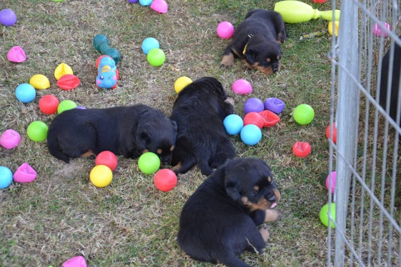 Rottweiler - Ida x Lacky 11754211