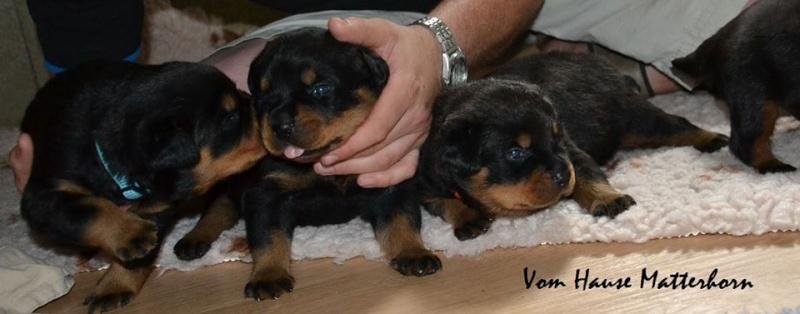 Rottweiler - Ida x Lacky 11755610