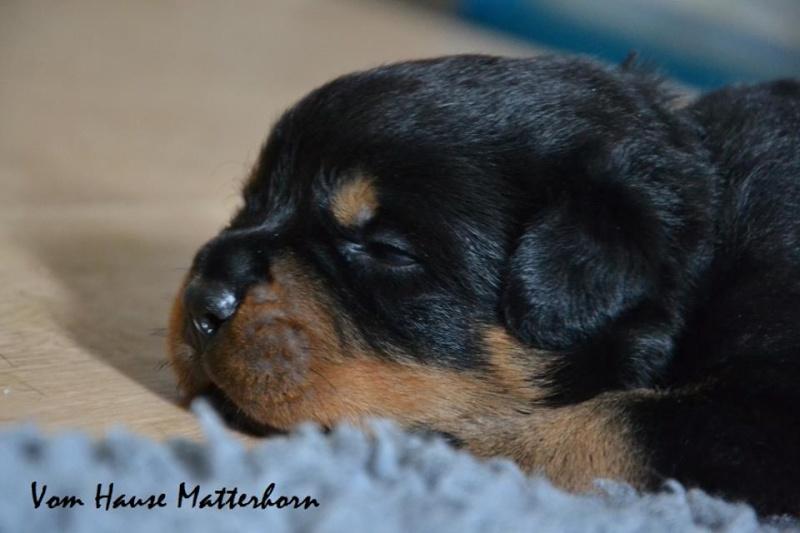 Rottweiler - Ida x Lacky 11755910