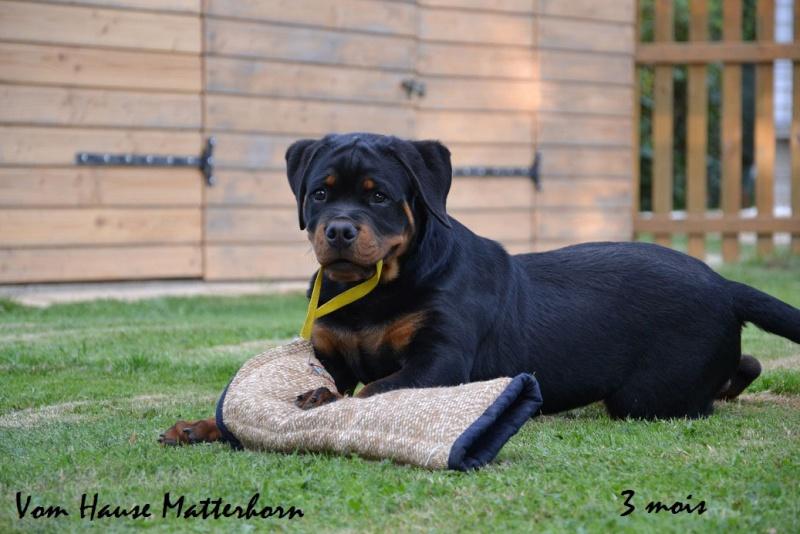 Rottweiler mâle 15 mois (44) 1bis10
