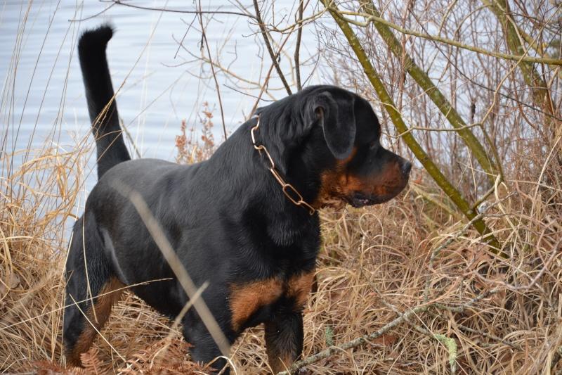 Rottweiler mâle 15 mois (44) Dsc_0011