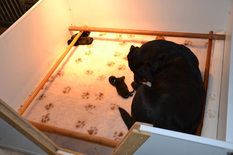 Rottweiler - Ida x Lacky Dsc_0211