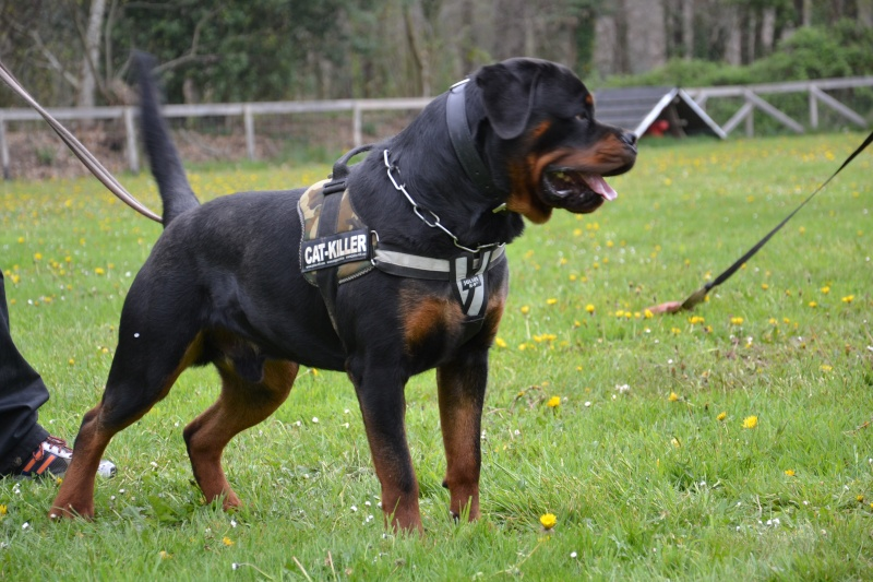 Rottweiler mâle 15 mois (44) Dsc_0810