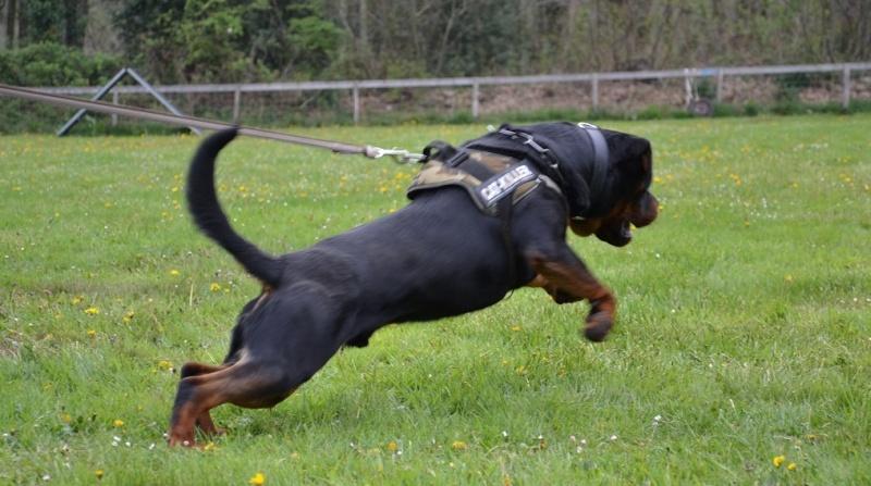 Rottweiler mâle 15 mois (44) Nask10