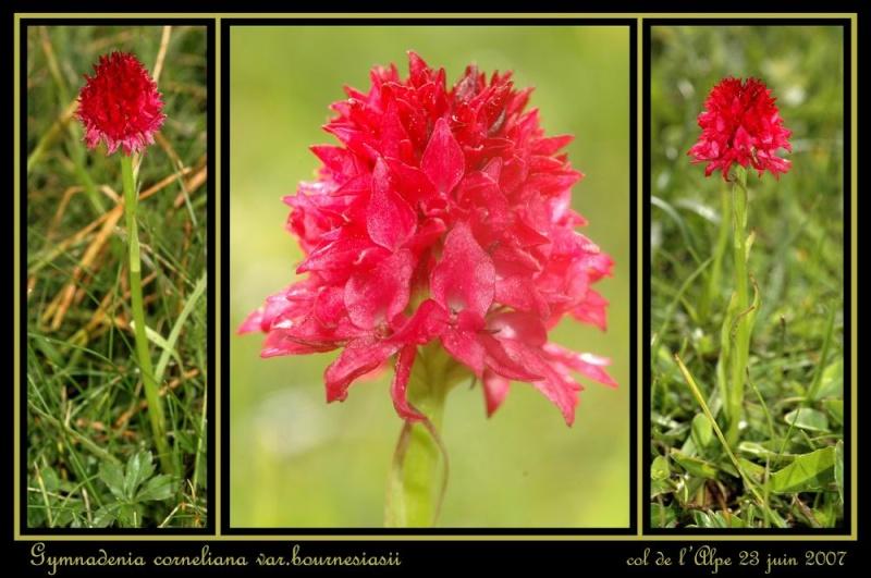Gymnadenia ( Nigritella ) corneliana ( N.de Cornelia ) Redime11