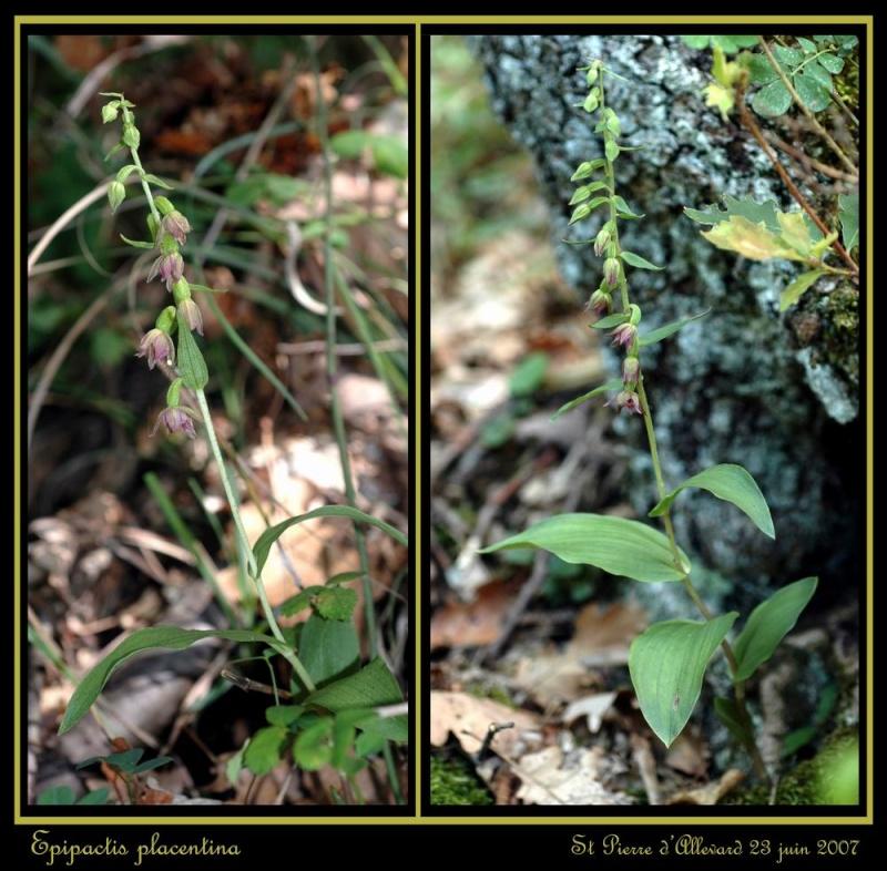 Epipactis placentina ( Epipactis de Plaisance ) Rplace10