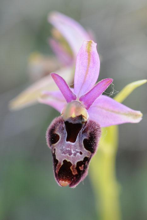 Les Ophrys tardifs d'Italie du sud - Page 2 Dsc_0011