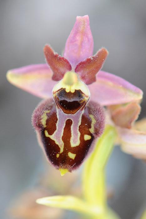 Les Ophrys tardifs d'Italie du sud - Page 2 Dsc_0013