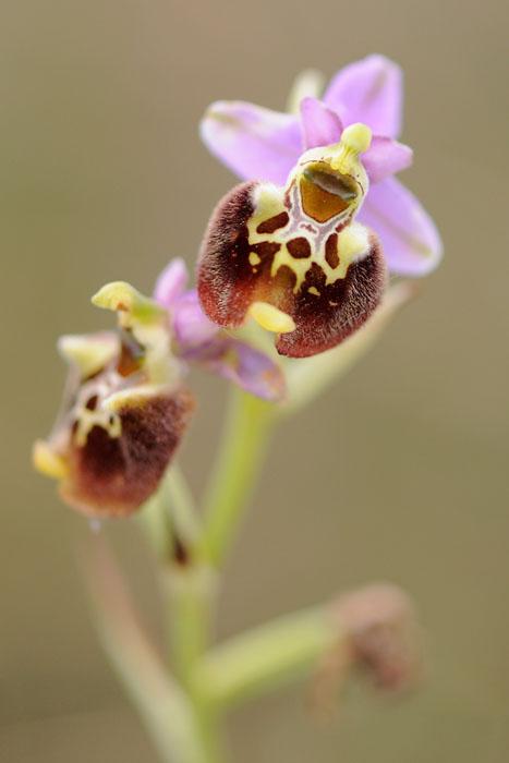 Les Ophrys tardifs d'Italie du sud - Page 2 Dsc_0110