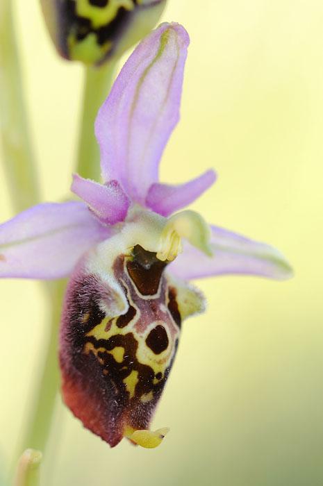 Les Ophrys tardifs d'Italie du sud - Page 2 Dsc_0111