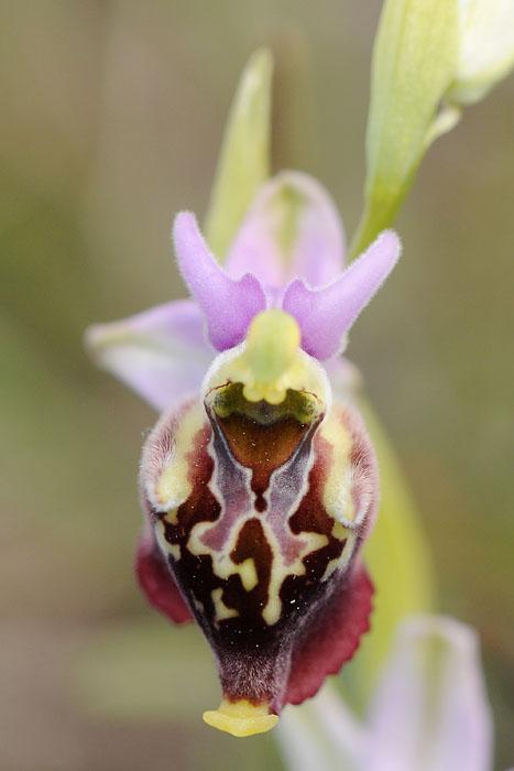 Les Ophrys tardifs d'Italie du sud - Page 2 Dsc_0112