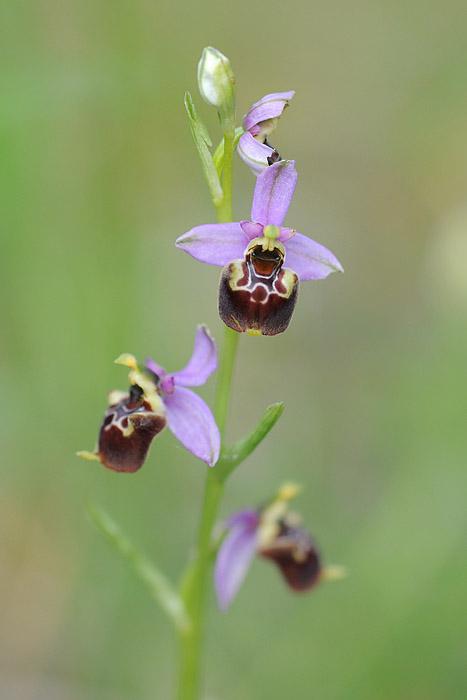 Les Ophrys tardifs d'Italie du sud Dsc_0212