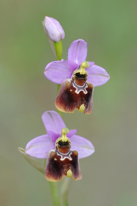 Les Ophrys tardifs d'Italie du sud Dsc_0214